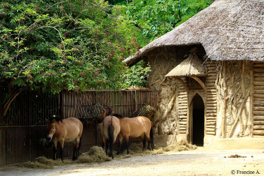 La fabrique des chevaux de Przewalski