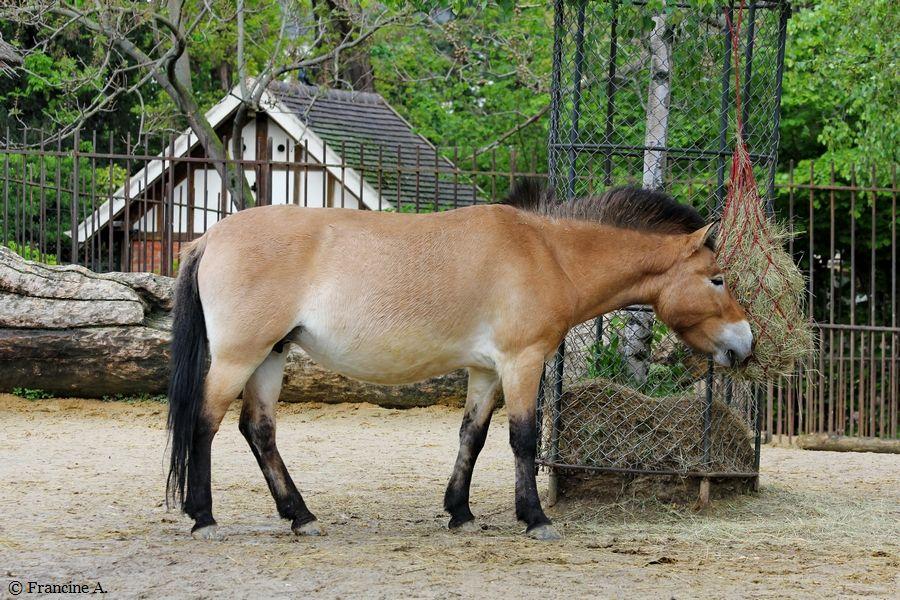 Le cheval de Przewalski